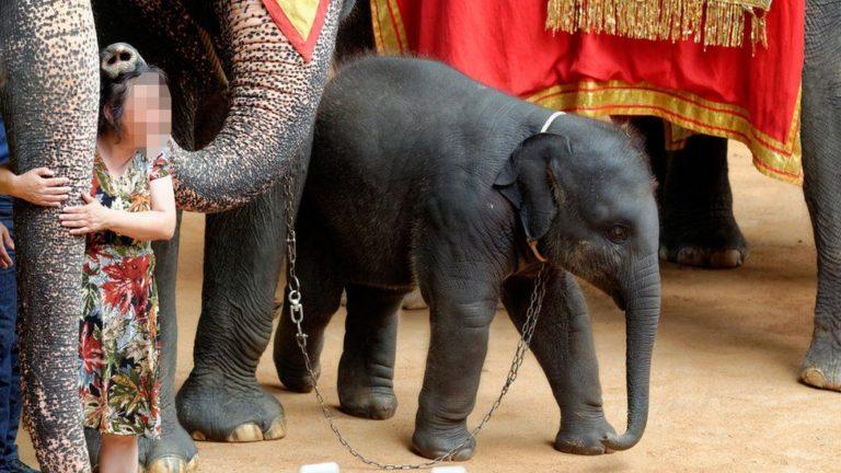 La cruauté du tourisme impliquant des éléphants en Thailande