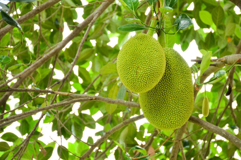 Fruit du jacquier (Kanoon)