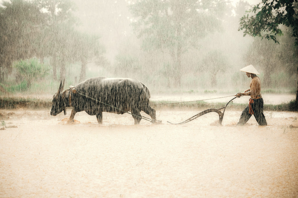 farmers in the countryside in asia, are plowing soil for rice cultivation with water buffalo in rainy season ,while heavy rain